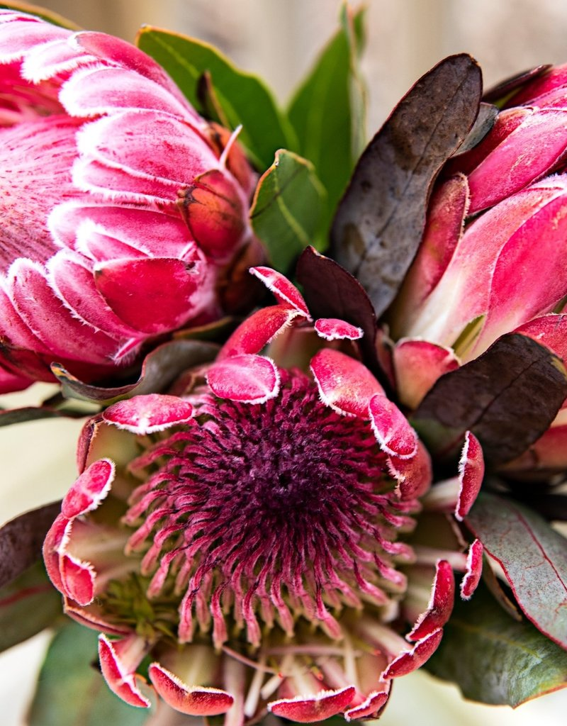 Pink Picasso C1 Paint-By-Number - Pretty Protea