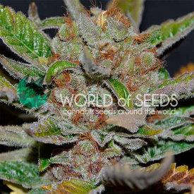 World of Seeds World of Seeds Bubba Haze Reg 10pk