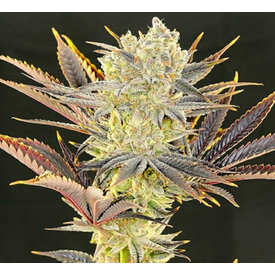 Ethos Genetics Citradelic Sunset Fem 10 pk