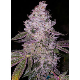 Ethos Genetics Ethos Genetics Early Glue RBx1 6pk fem