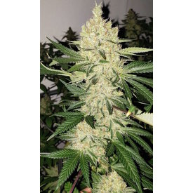 Ethos Genetics Ethos Genetics Super Lemon Haze F5 Reg 10 pk