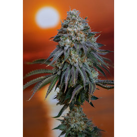 Subcool Subcool's The Dank Sweet Tea Reg 5pk