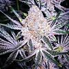 Ethos Genetics Purple Sunset Fem 6pk