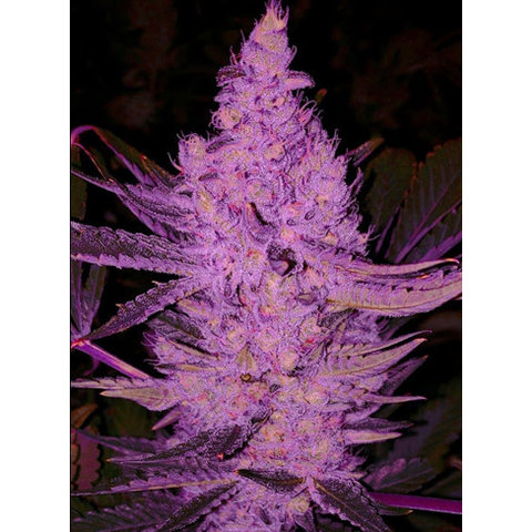 Ethos Genetics Purple Majik Fem 10 pk