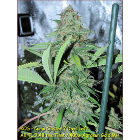 Kingdom Organic Seeds Kingdom Organic Seeds Coma Cluster Reg 5 pk