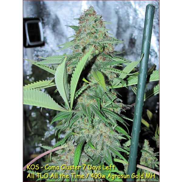 Kingdom Organic Seeds Kingdom Organic Seeds Coma Cluster Reg 5 pk