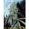 Kingdom Organic Seeds Coma Cluster Reg 5 pk