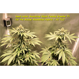 Kingdom Organic Seeds Kingdom Organic Seeds Malawi Moonshine Reg 5 pk