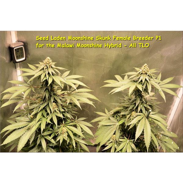 Kingdom Organic Seeds Kingdom Organic Seeds Malawi Moonshine Reg 5 pk