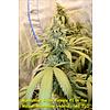 Kingdom Organic Seeds Malawi Moonshine Reg 5 pk