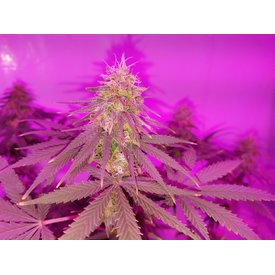 Kingdom Organic Seeds Kingdom Organic Seeds Black Posion Skunk Reg 5 pk