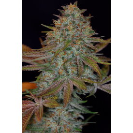 Subcool Subcool's The Dank Dawggone Sour Reg 5pk