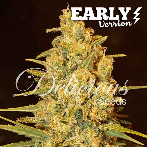Delicious Seeds Critical Sensi Star Early Version Fem 5 pk