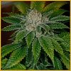 Archive Clearwater Kush Reg 12 pk