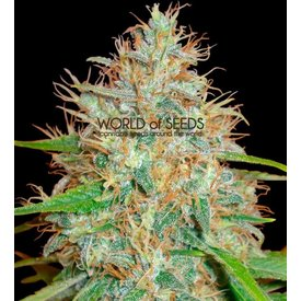 World of Seeds Afghan Kush x Skunk Fem 7 pk