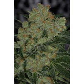 Subcool Subcool's The Dank Jack Straw Reg 5 pk