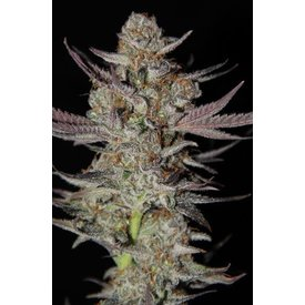 Subcool Subcool's The Dank Marion Berry Kush Reg 5pk