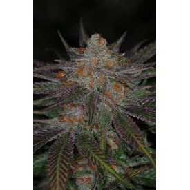 Subcool Subcool's The Dank Ripped Bubba Reg 5 pk