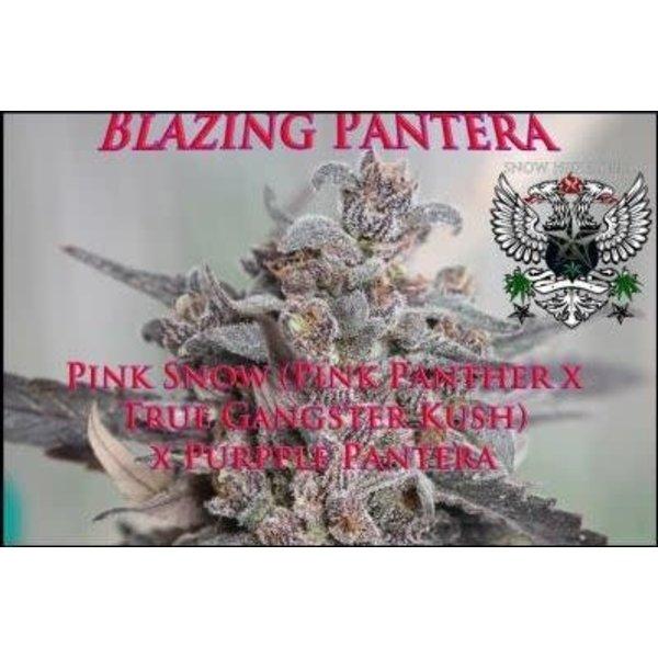 SnowHigh Seeds Blazing Pantera Reg 10 pk