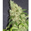 SnowHigh Seeds Golden White Grapefruit Reg 10 pk