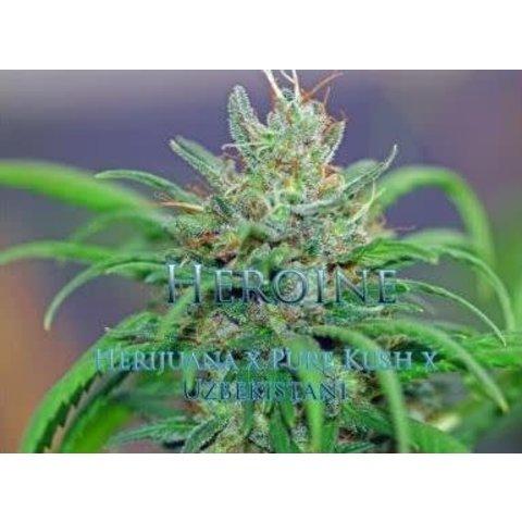 Snowhigh Seeds Heroine Reg 10 pk