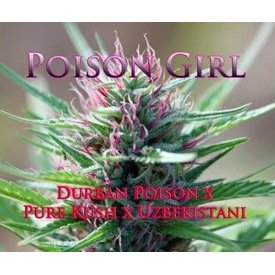 SnowHigh Seeds SnowHigh Seeds Poison Girl Reg 5pk