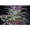 Purple  Colombian Car Bomb Reg 10 pk