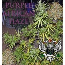 SnowHigh Seeds SnowHigh Seeds Purple African Haze 10pk