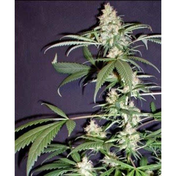 SnowHigh Seeds Purple Mexican Thai 5 pk