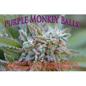 SnowHigh Seeds SnowHigh Seeds Purple Monkey Balls Reg 10 pk