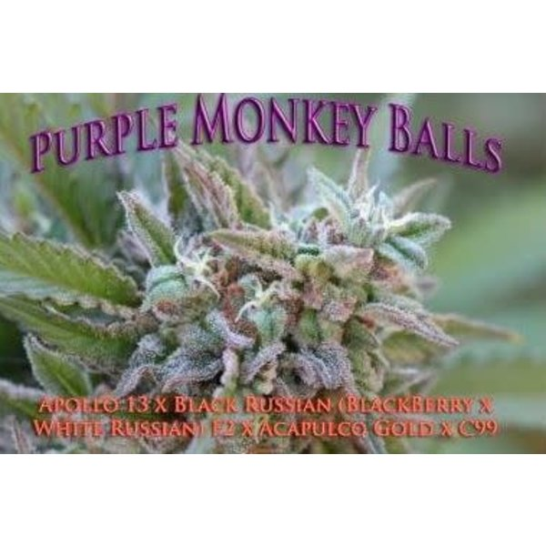SnowHigh Seeds Purple Monkey Balls Reg 10 pk