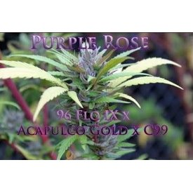 SnowHigh Seeds SnowHigh Seeds Purple Rose Reg 10 pk