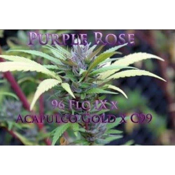 SnowHigh Seeds Purple Rose Reg 10 pk