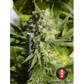 Serious Seeds Serious Seeds Double Dutch Reg 12 pk
