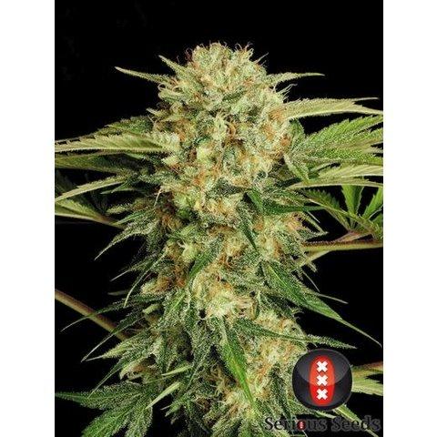 Serious Seeds Motavation Reg 12 pk