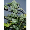 Serious Seeds White Russian Auto 6 pack