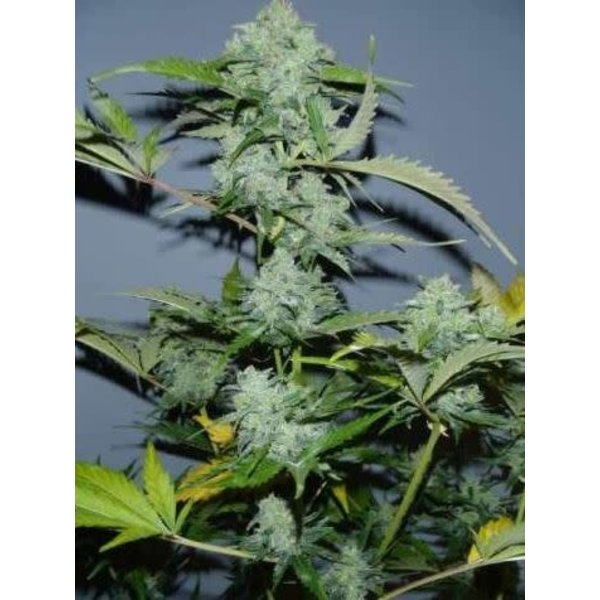 Serious Seeds Serious Seeds White Russian Auto 6 pack