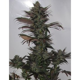 Secret Valley Seeds Secret Valley Seeds Northern Flame Reg 10 pk
