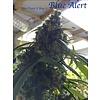 Blue Alert Reg 5 pk
