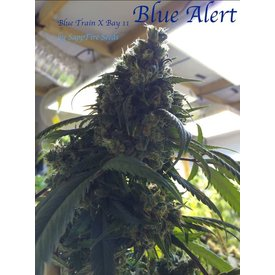 Sappfire Sappfire Blue Alert Reg 5 pk