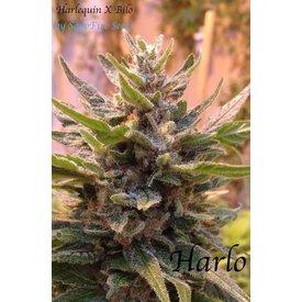 Sappfire Harlo Reg 5 pk