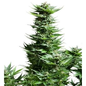 Royal Queen Royal Queen Shining Silver Haze Fem 5 pk