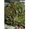 BC Bud Depot BC Pinewarp Reg 12pack