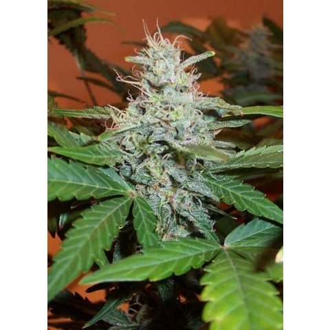 BC Bud Depot LowRyder Auto 6pack