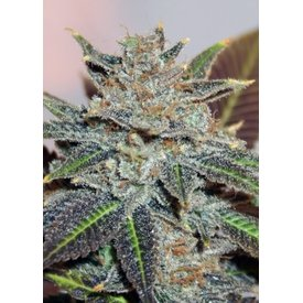 BC Bud Depot BCBD Night Nurse Reg 12 pk
