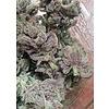 BC Bud Depot SoCal Master Kush Fem 6 pack