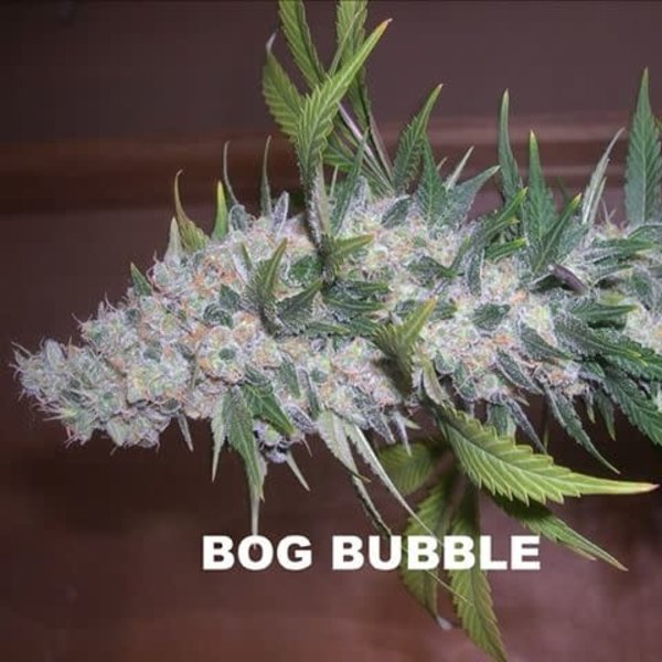 BOG BOG BOG Bubble Reg 13pack