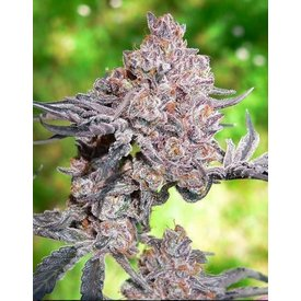 Pirates of the Emerald Triangle Pirates of the Emerald Triangle Obama Kush F1 Reg 11 pk