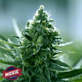 Moxie Moxie Goji Cake Reg 12 pk