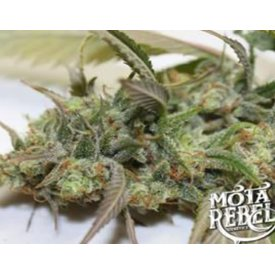 Mota Rebel Mota Rebel Apollo 13 F4 Reg 10 pk